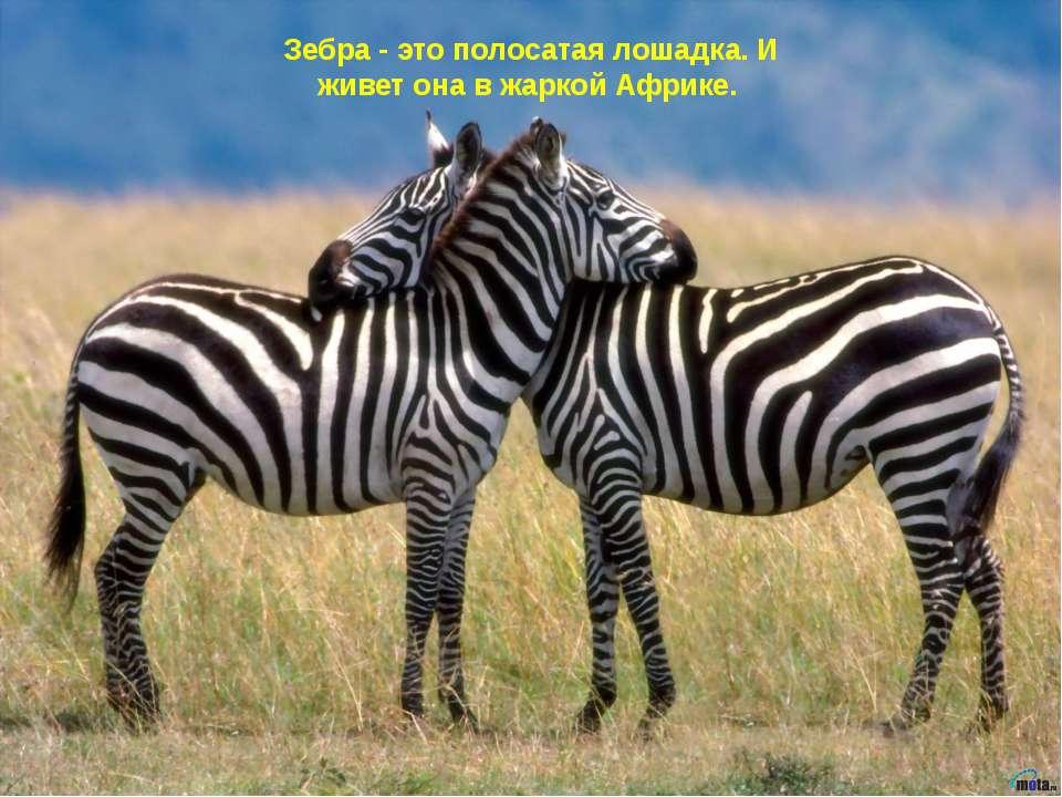 Зебра - это полосатая лошадка. И живет она в жаркой Африке.