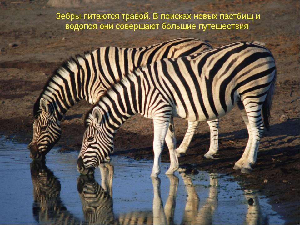 Зебры питаются травой. В поисках новых пастбищ и водопоя они совершают больши...
