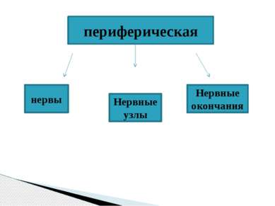 периферическая нервы Нервные узлы Нервные окончания