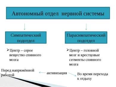Автономный отдел нервной системы Симпатический подотдел Парасимпатический под...
