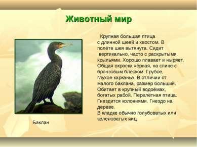 Животный мир Крупная большая птица с длинной шеей и хвостом. В полёте шея выт...