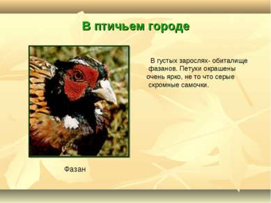 В птичьем городе В густых зарослях- обиталище фазанов. Петухи окрашены очень ...