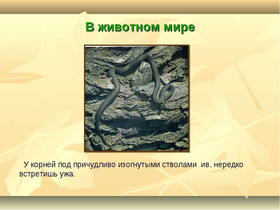 В животном мире У корней под причудливо изогнутыми стволами ив, нередко встре...