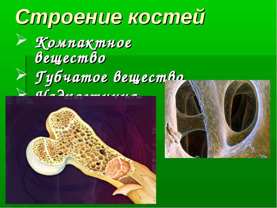 Строение костей Компактное вещество Губчатое вещество Надкостница