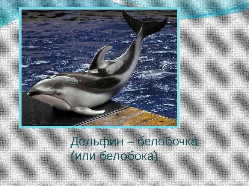Дельфин – белобочка (или белобока)