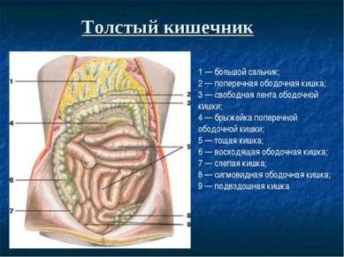 Толстый кишечник 1 — большой сальник; 2 — поперечная ободочная кишка; 3 — сво...