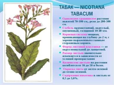 ТАБАК — NICOTIANA TABACUM Однолетнее травянистое растение высотой 70-100 см,,...