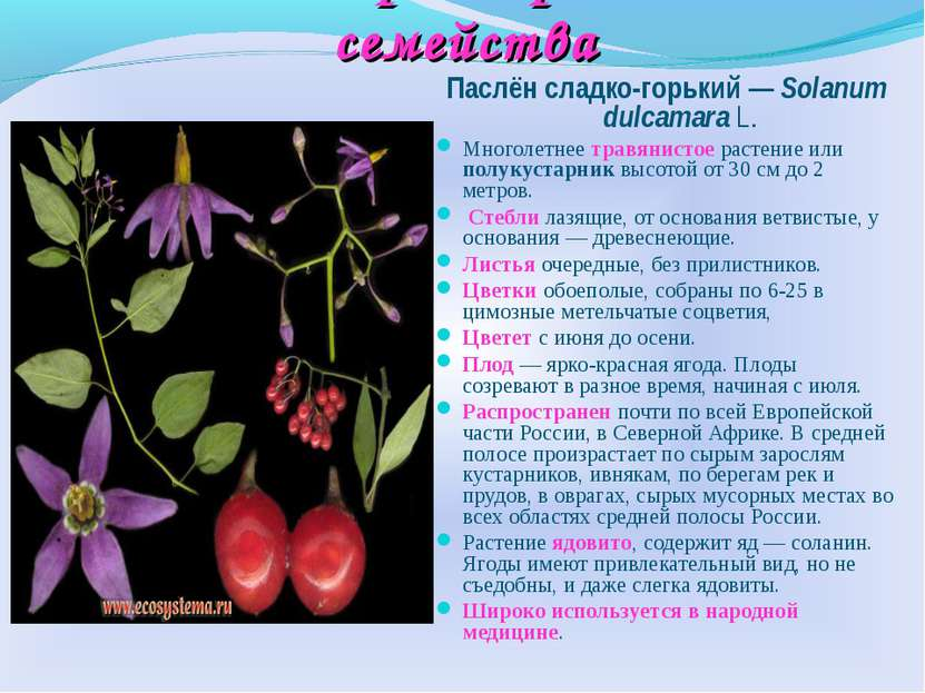 Многообразие растений семейства Паслён сладко-горький — Solanum dulcamara L. ...