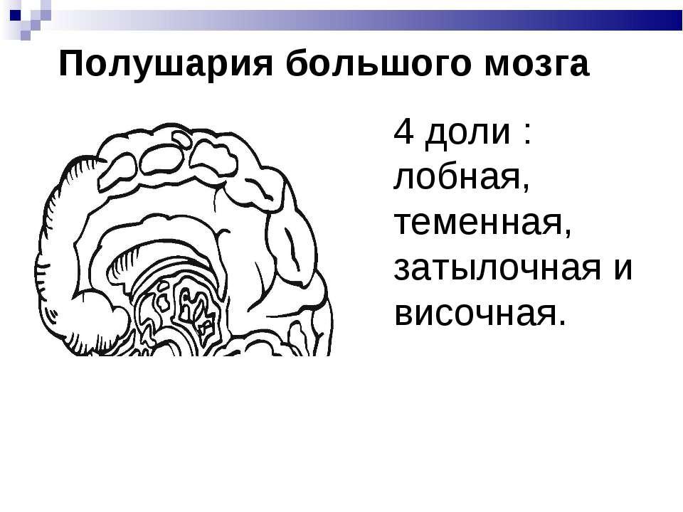 Полушария большого мозга 4 доли : лобная, теменная, затылочная и височная.