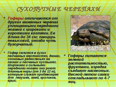 СУХОПУТНЫЕ ЧЕРЕПАХИ Гоферы отличаются от других наземных черепах уплощенными ...