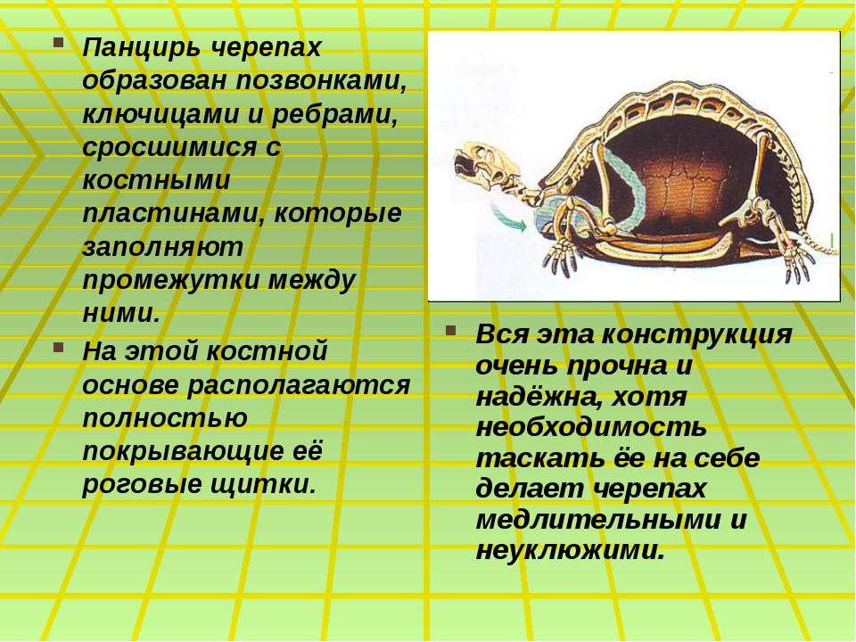Панцирь черепах образован позвонками, ключицами и ребрами, сросшимися с костн...