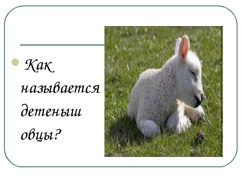Как называется детеныш овцы?