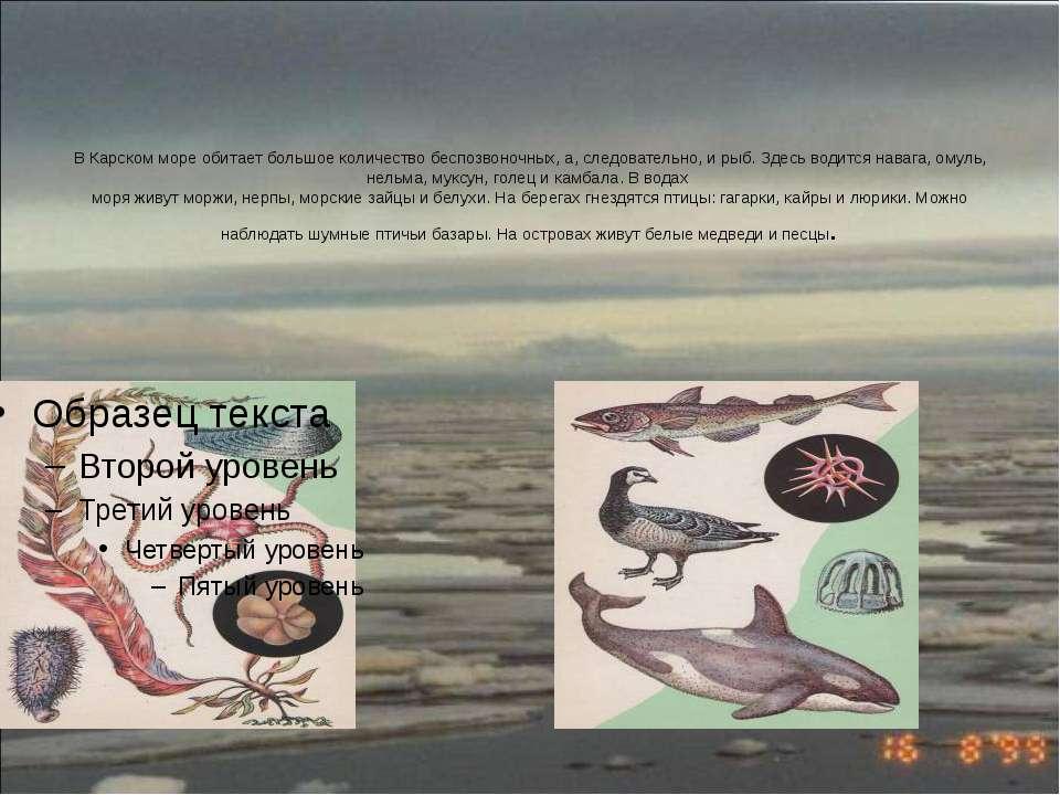 В Карском море обитает большое количество беспозвоночных, а, следовательно, и...