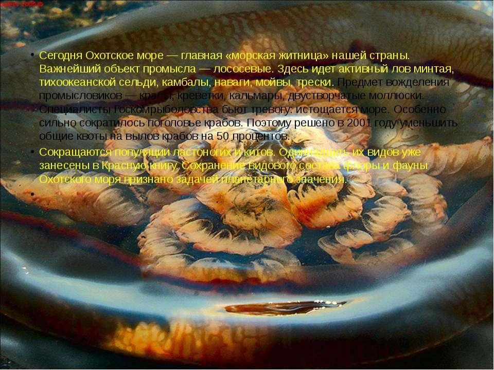 Сегодня Охотское море — главная «морская житница» нашей страны. Важнейший объ...