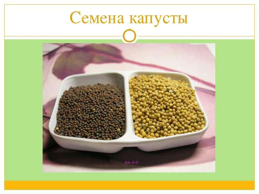 Семена капусты