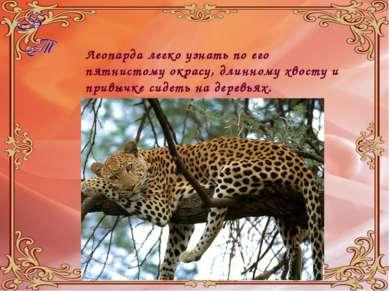 Леопарда легко узнать по его пятнистому окрасу, длинному хвосту и привычке си...