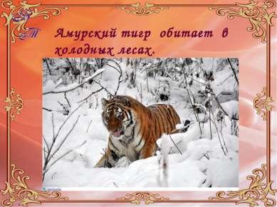 Амурский тигр обитает в холодных лесах.