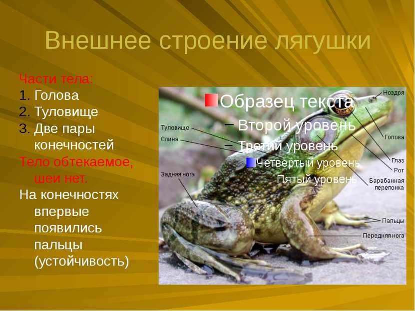 Внешнее строение лягушки Части тела: Голова Туловище Две пары конечностей Тел...