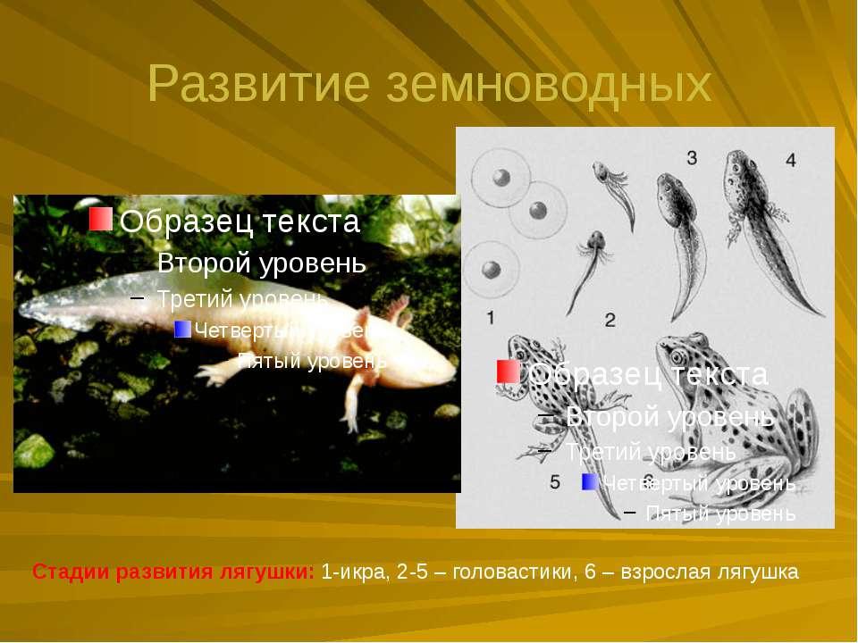Развитие земноводных Стадии развития лягушки: 1-икра, 2-5 – головастики, 6 – ...