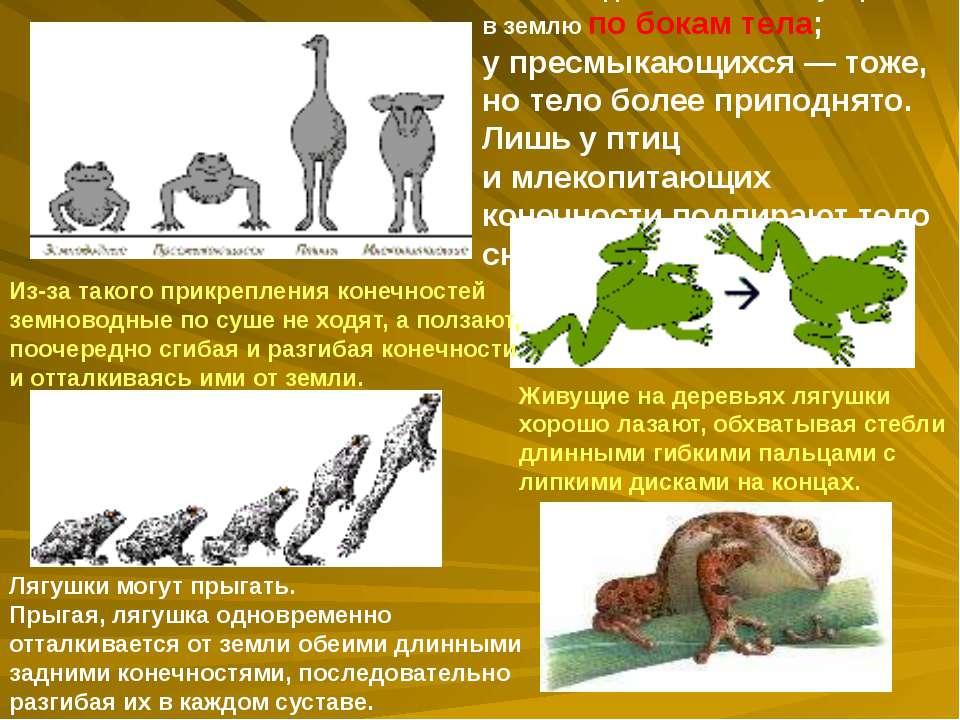 У земноводных конечности упираются в землю по бокам тела; упресмыкающихся— ...
