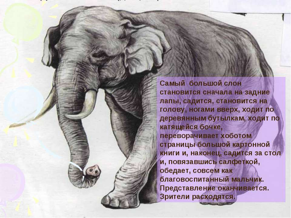 Самый большой слон становится сначала на задние лапы, садится, становится на ...