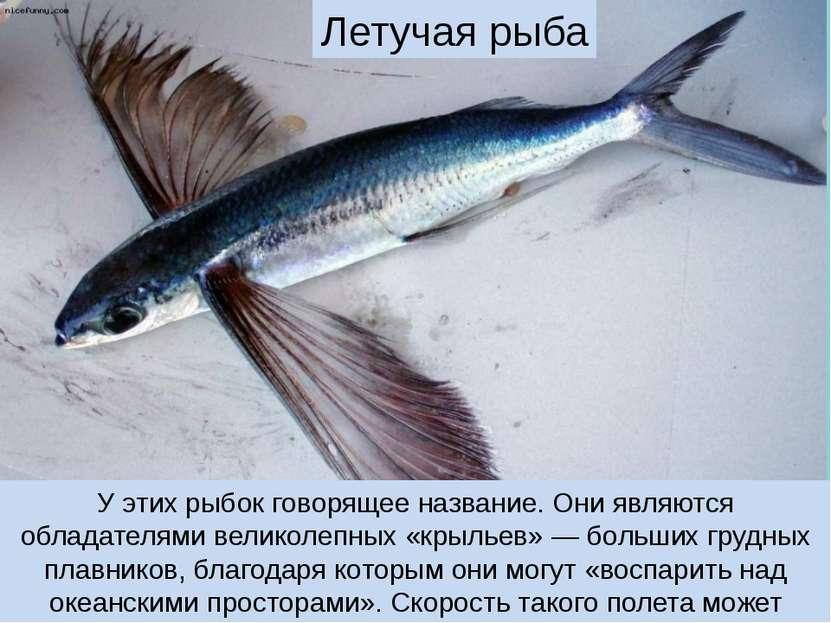 У этих рыбок говорящее название. Они являются обладателями великолепных «крыл...