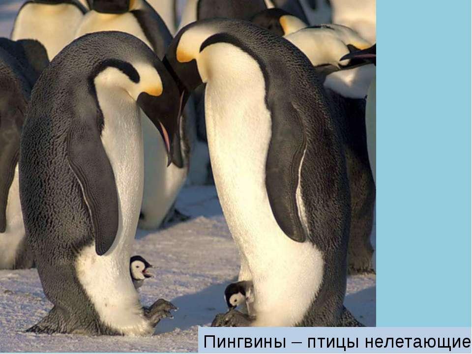 Пингвины – птицы нелетающие.
