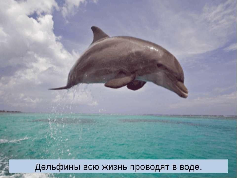 Дельфины всю жизнь проводят в воде.