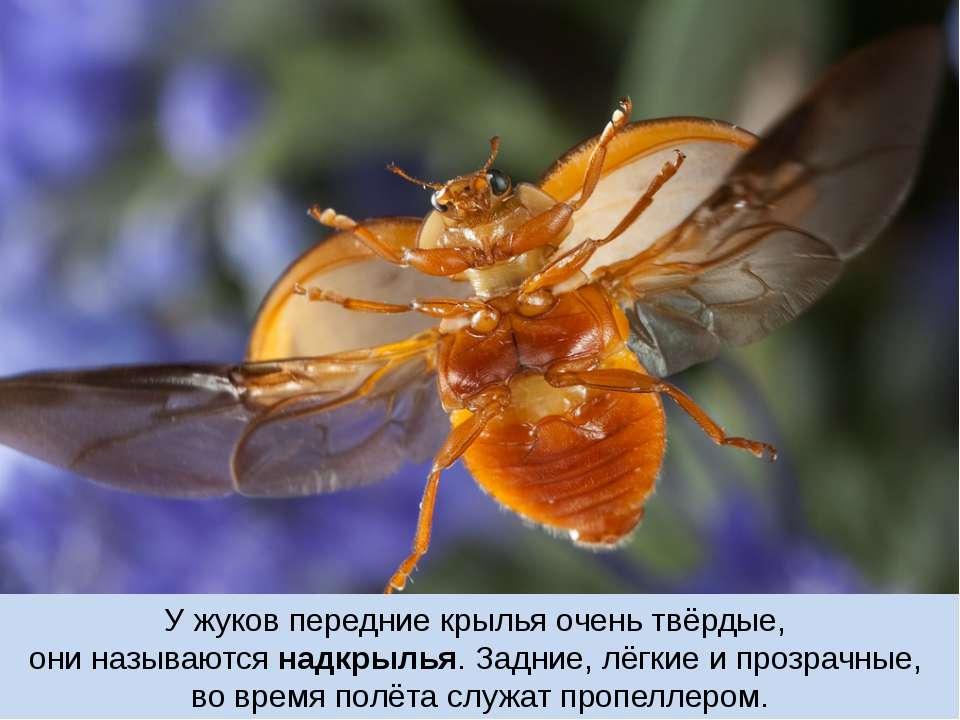 У жуков передние крылья очень твёрдые, они называются надкрылья. Задние, лёгк...