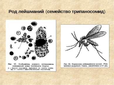 Род лейшманий (семейство трипаносомид)