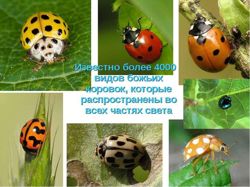 Известно более 4000 видов божьих коровок, которые распространены во всех част...