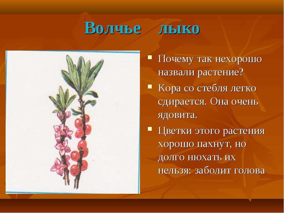 Волчье лыко Почему так нехорошо назвали растение? Кора со стебля легко сдирае...