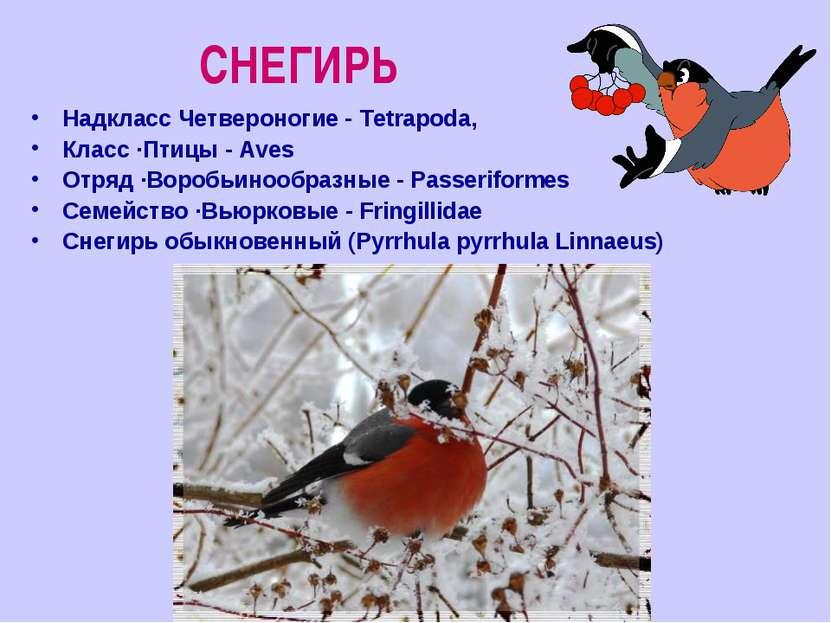 СНЕГИРЬ Надкласс Четвероногие - Tetrapoda, Класс ·Птицы - Aves Отряд ·Воробьи...