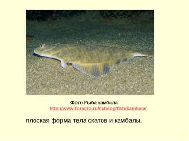 плоская форма тела скатов и камбалы. Фото Рыба камбала http://www.foragro.ru/...