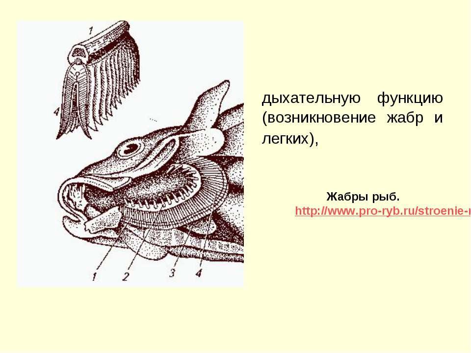 дыхательную функцию (возникновение жабр и легких), Жабры рыб. http://www.pro-...