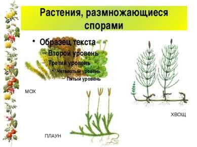 Растения, размножающиеся спорами МОХ ПЛАУН ХВОЩ