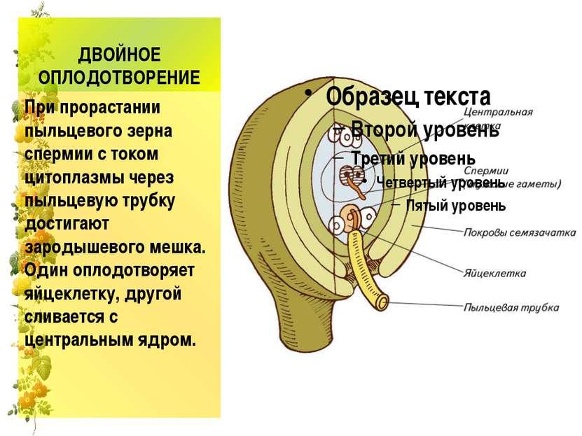 ДВОЙНОЕ ОПЛОДОТВОРЕНИЕ При прорастании пыльцевого зерна спермии с током цитоп...