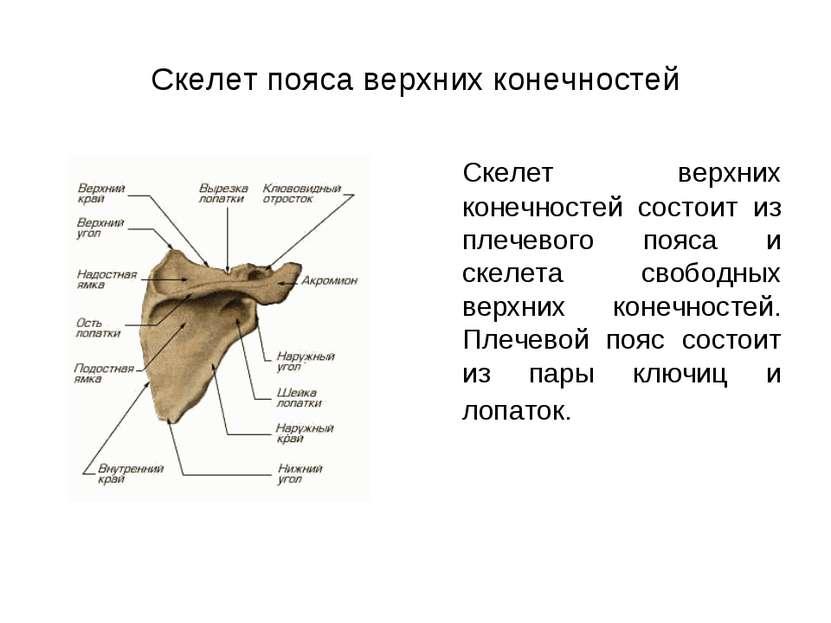 Скелет пояса верхних конечностей Скелет верхних конечностей состоит из плечев...