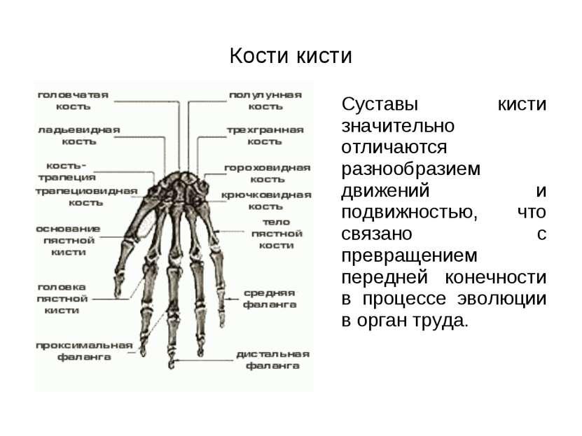 Кости кисти Суставы кисти значительно отличаются разнообразием движений и под...