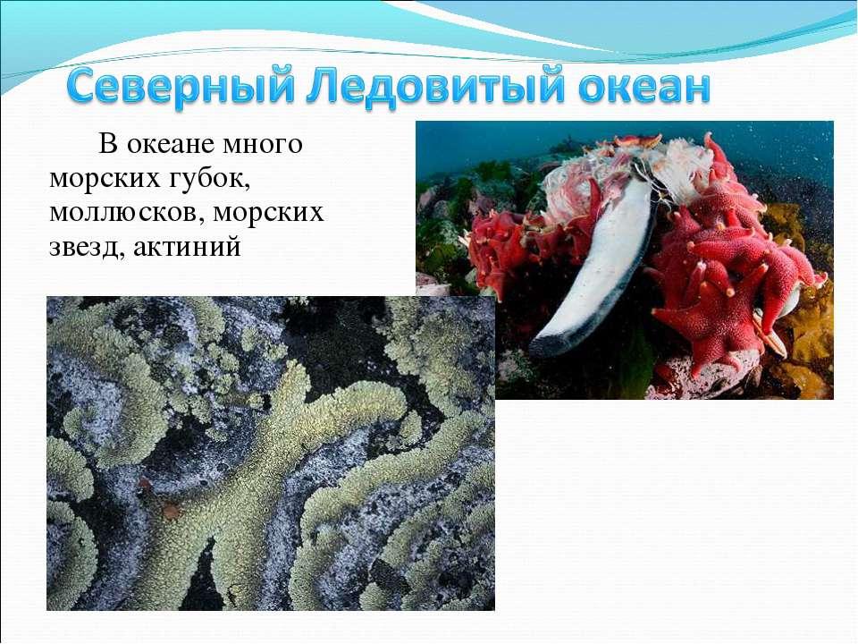 В океане много морских губок, моллюсков, морских звезд, актиний