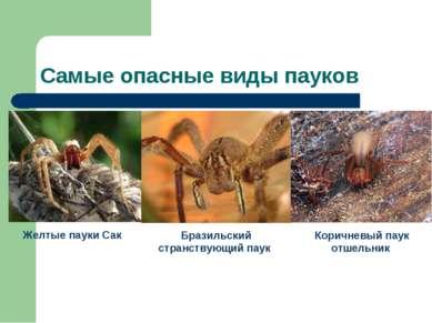 Самые опасные виды пауков Желтые пауки Сак Бразильский странствующий паук Кор...