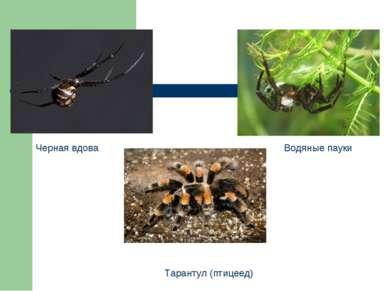 Черная вдова Тарантул (птицеед) Водяные пауки
