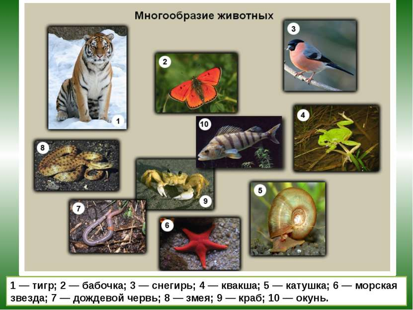 1 — тигр; 2 — бабочка; 3 — снегирь; 4 — квакша; 5 — катушка; 6 — морская звез...