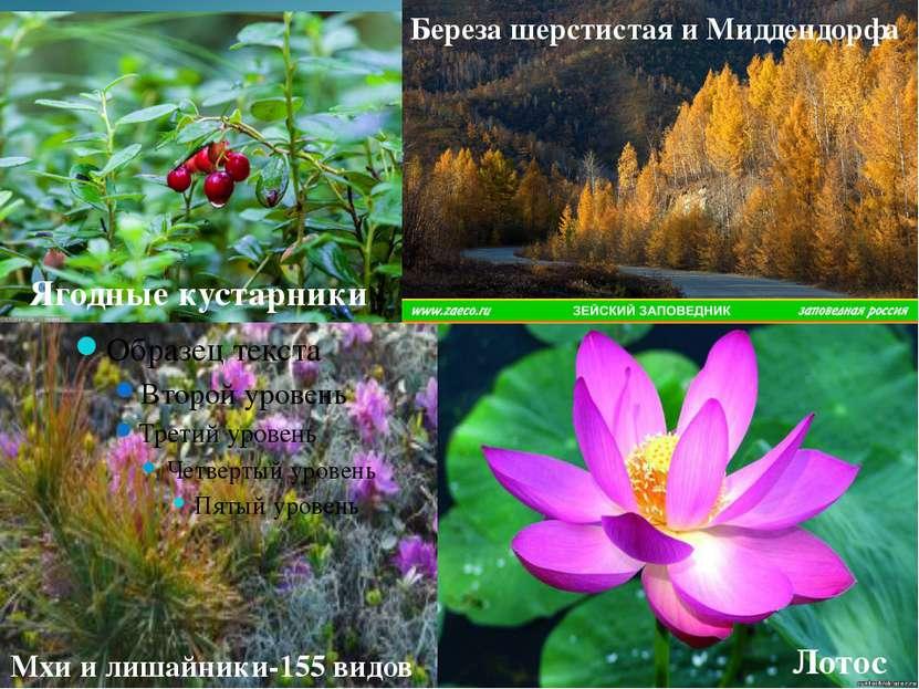 Лотос Мхи и лишайники-155 видов Ягодные кустарники Береза шерстистая и Мидден...