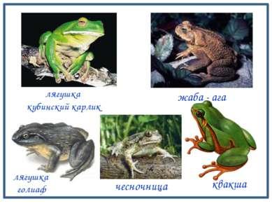 туловище ноги Строение тела земноводных лягушка голиаф голова ноги