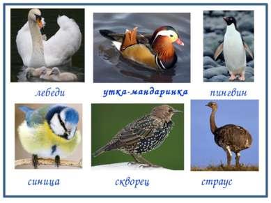 лебеди синица утка-мандаринка скворец страус пингвин