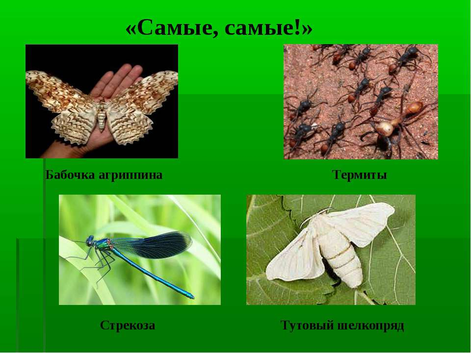 Термиты «Самые, самые!» Бабочка агриппина Стрекоза Тутовый шелкопряд