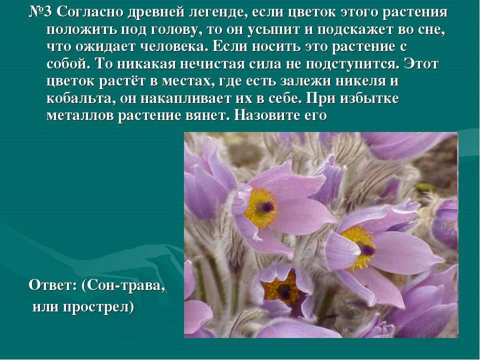 №3 Согласно древней легенде, если цветок этого растения положить под голову, ...