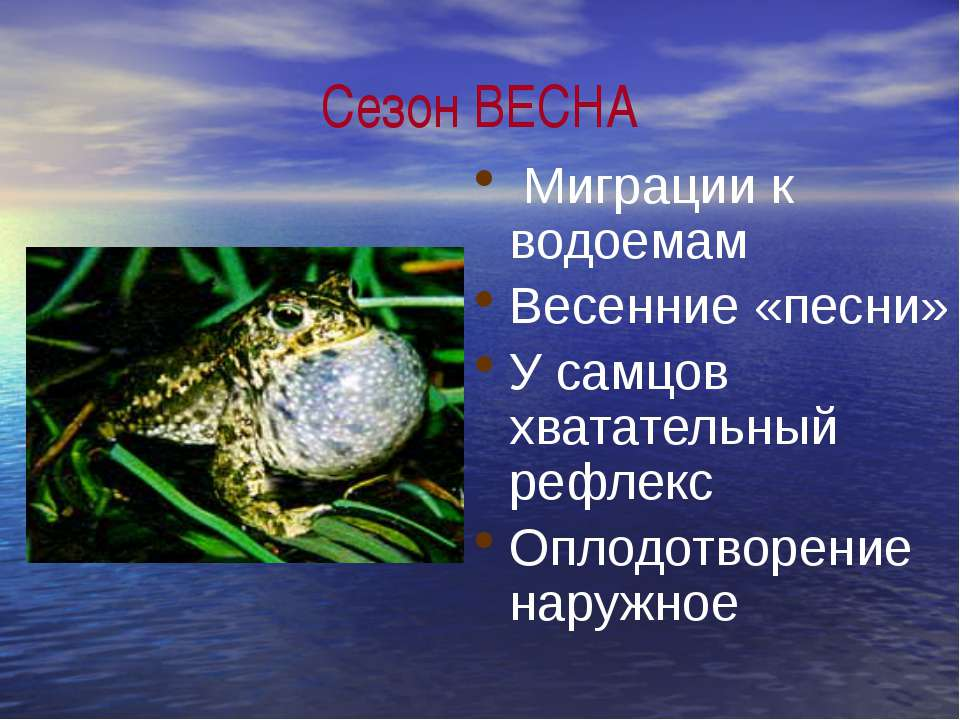 Сезон ВЕСНА Миграции к водоемам Весенние «песни» У самцов хватательный рефлек...