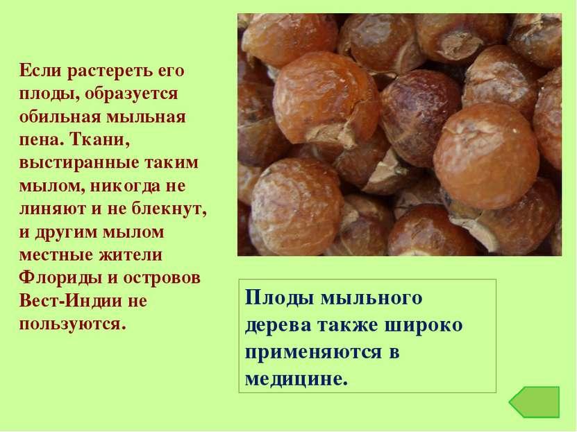 Плоды мыльного дерева также широко применяются в медицине. Если растереть его...